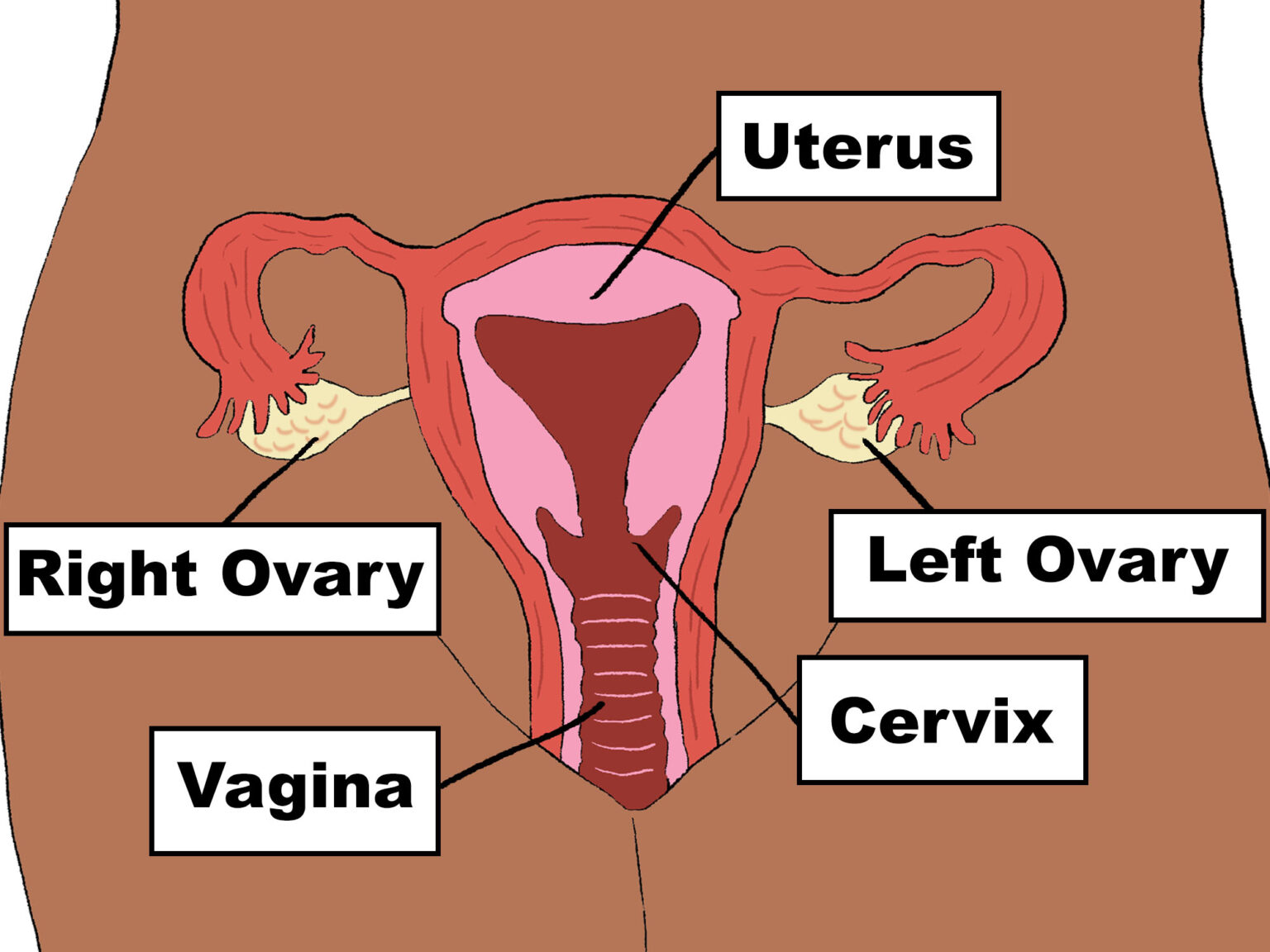 A digital illustration of the inner anatomy. The inner anatomy starts at the vaginal entrance, which is the lowest point of the vulva. The vaginal entrance continues in the body as the vagina, before reaching an end point called the cervix. The vaginal entrance continues inside of the body upwards and diagonally towards the back or the buttocks. The cervix acts as a barrier between the vagina and the uterus, in the case of bath water or tampons, for example. The cervix allows sperm carrying spermatozoids to enter the uterus. Beyond the cervix is the Uterus, which is a hollow muscle that plays an important role during pregnancy, which is to carry the infant inside the body until birth. On each side of the uterus are the right and left ovaries.